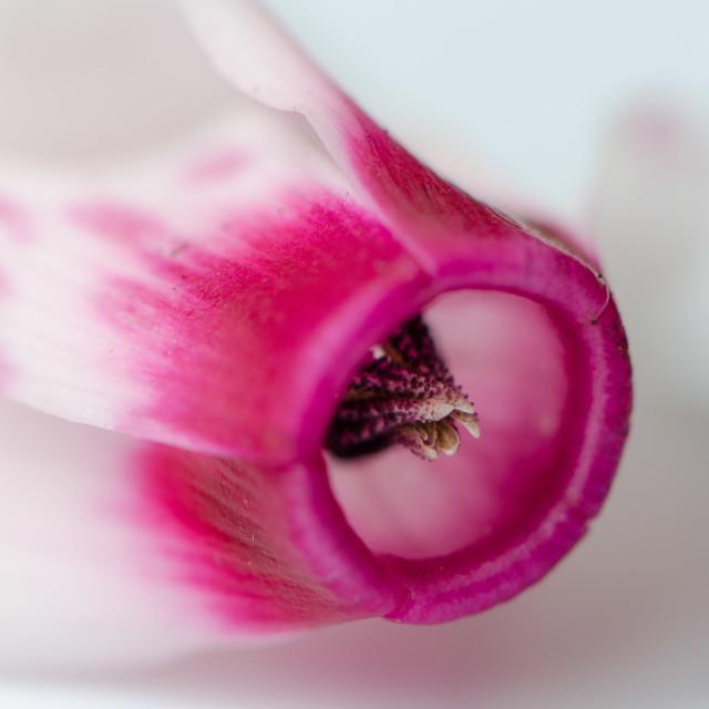 """""""Cyclamen flower"""" stock image"""