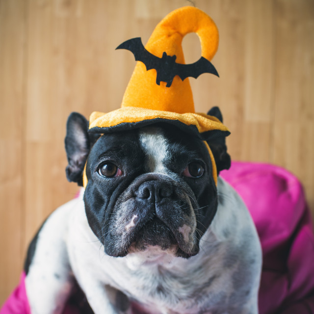 """Portrait of French bulldog with hat halloween"" stock image"