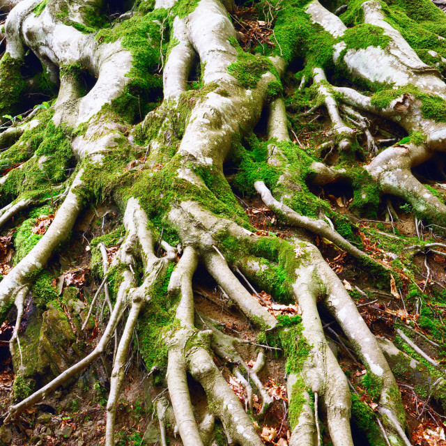 """Roots of the tree"" stock image"