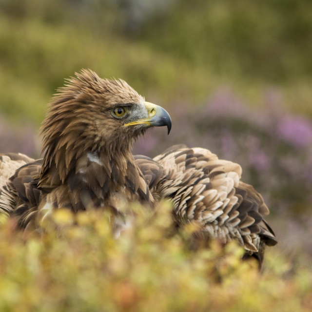 """Common Eagle"" stock image"