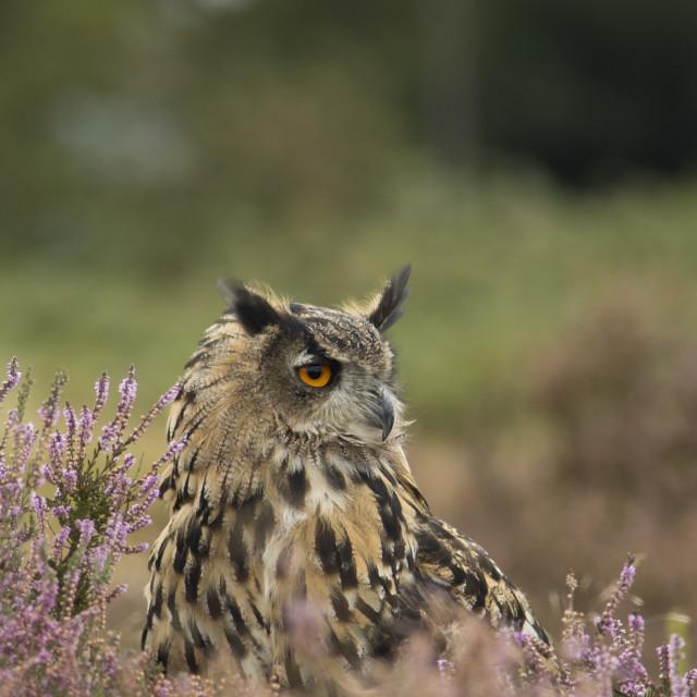 """Eagle Owl Heather"" stock image"