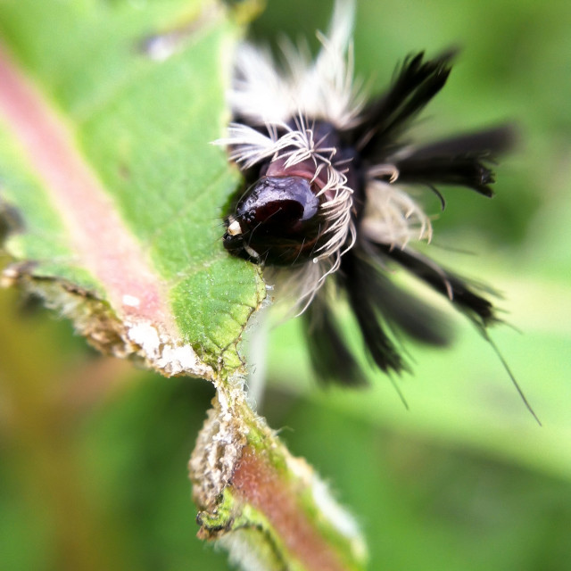 """Milkweed Tussock Moth Caterpillar"" stock image"