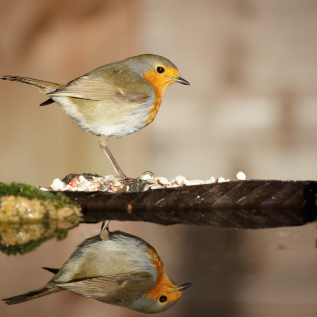 """Reflecting Robin"" stock image"