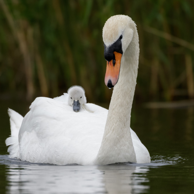 """Mute Swan with cygnet"" stock image"