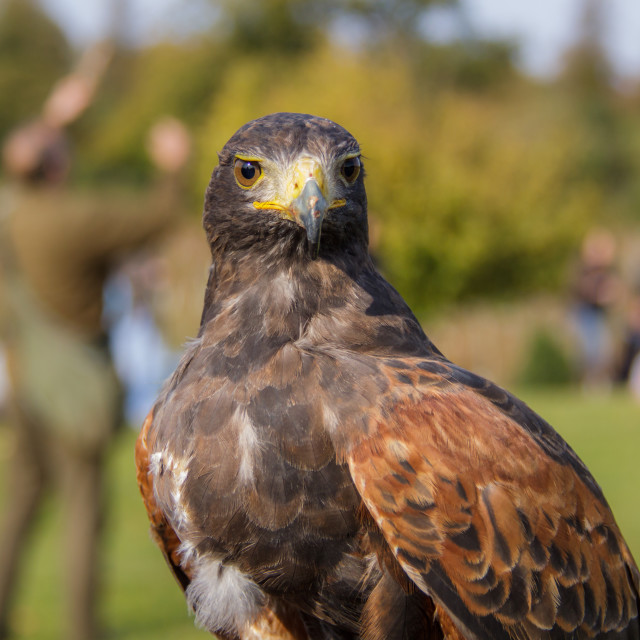 """Harris Hawk"" stock image"