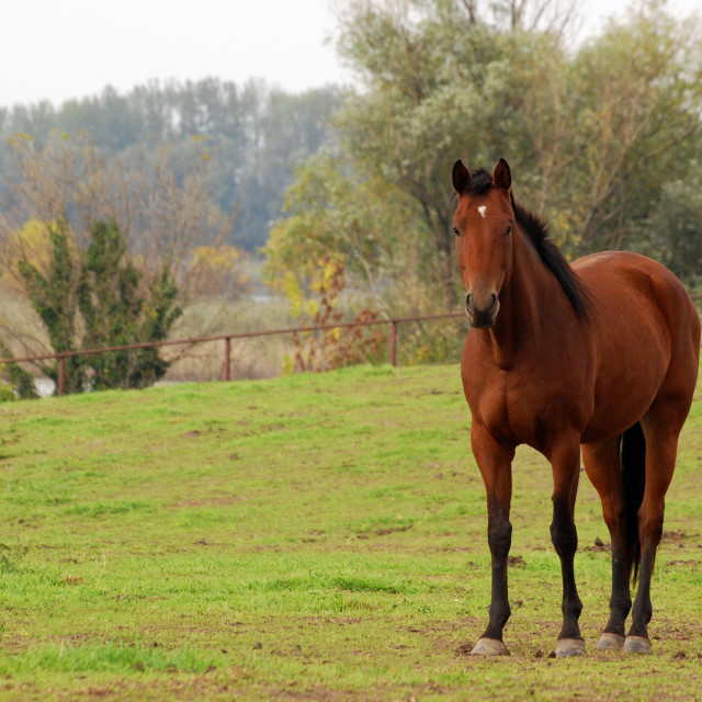 """""""brown horse in pasture"""" stock image"""