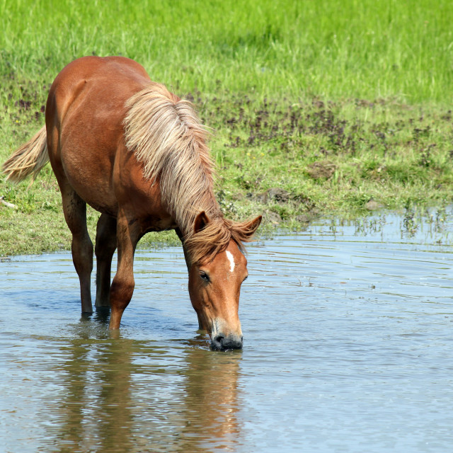 """horse drinking water"" stock image"