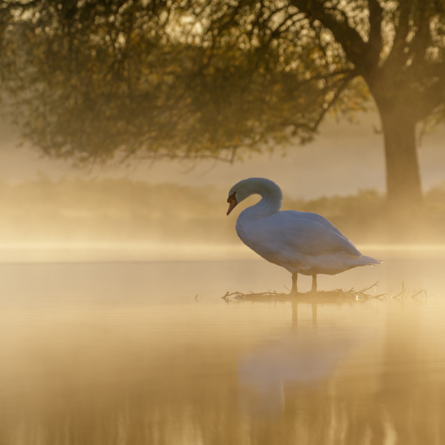 """Mute Swan at sunrise"" stock image"