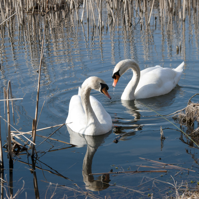 """""""A pair of swans."""" stock image"""