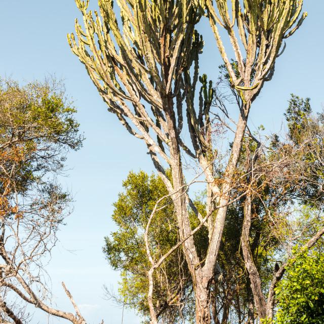 """Cactus Tree"" stock image"