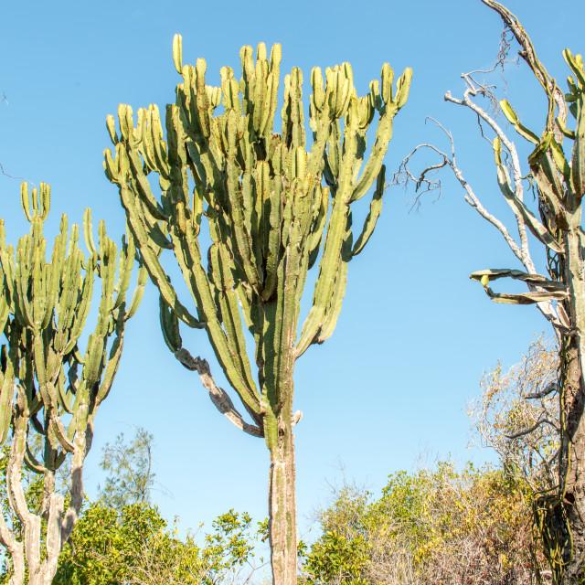 """Cactus Trees"" stock image"
