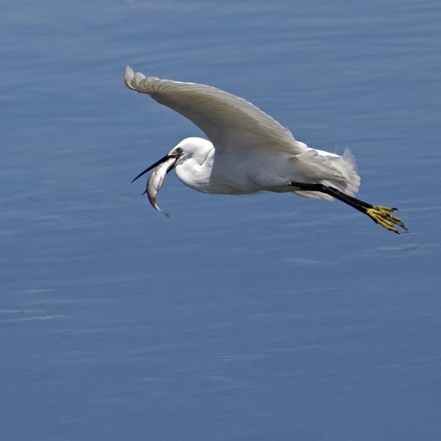"""Little Egret In Flight (Egretta garzetta) (IV)"" stock image"