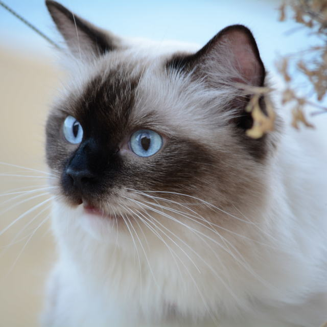 """Ragdoll cat portrait"" stock image"