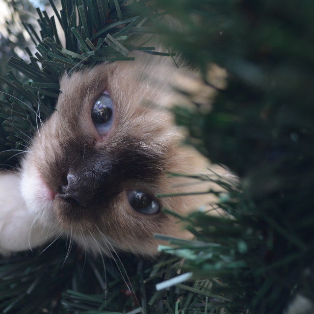"""""""Kitten hiding bewteen the Christmass Tree branches"""" stock image"""