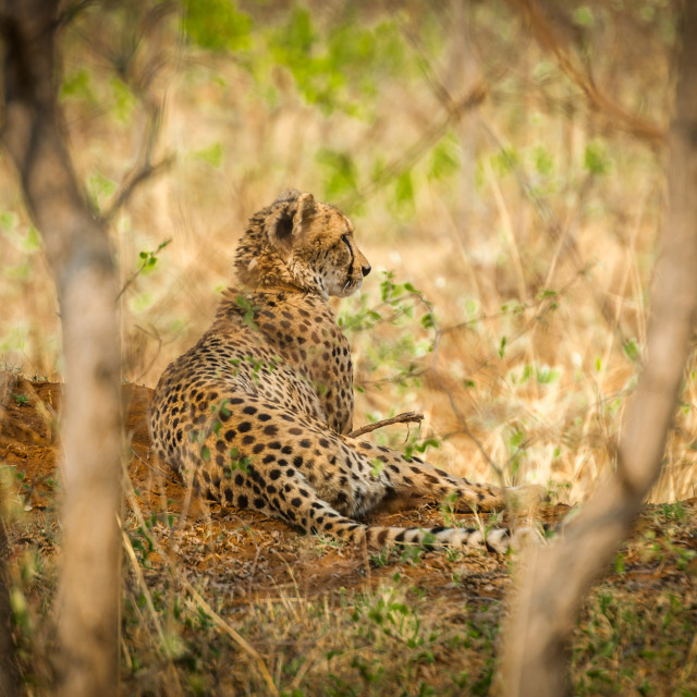 """A female cheetah sits quietly checking her surroundings"" stock image"