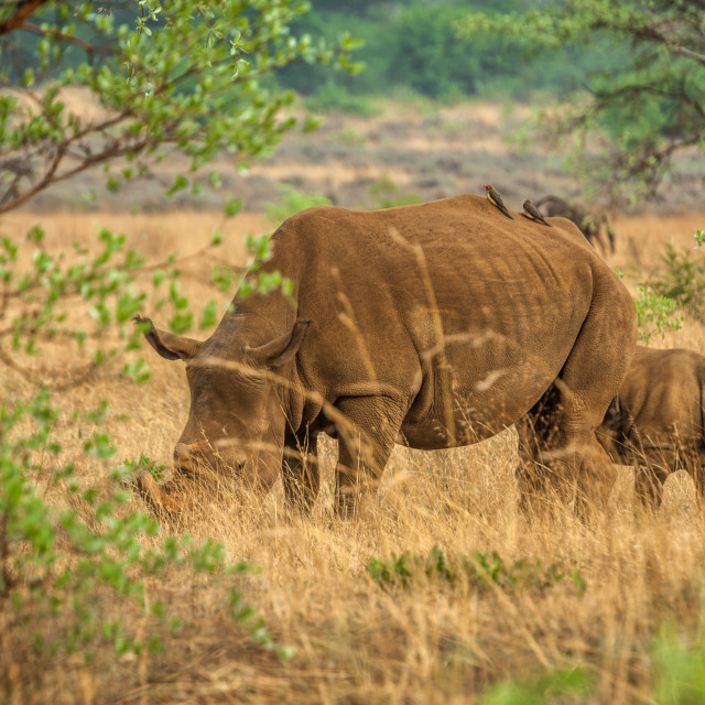 """African White Rhinoceros and her calf"" stock image"
