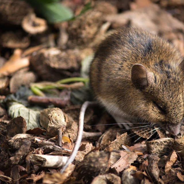 """Young Field Mouse"" stock image"