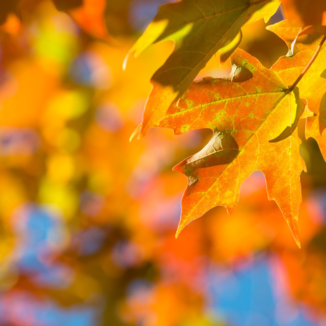 """Autumn maple leaves on a tree branch"" stock image"