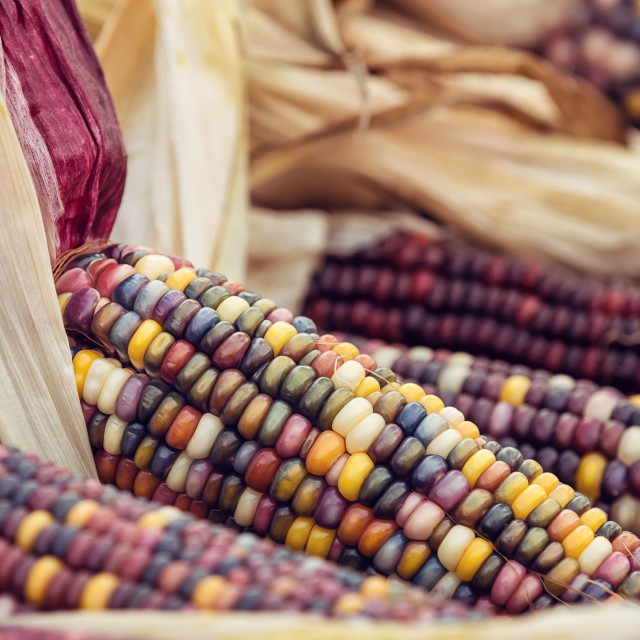"""Closeup of Indian Corn in autumn"" stock image"