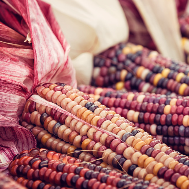 """Colorful Indian Corn in autumn"" stock image"