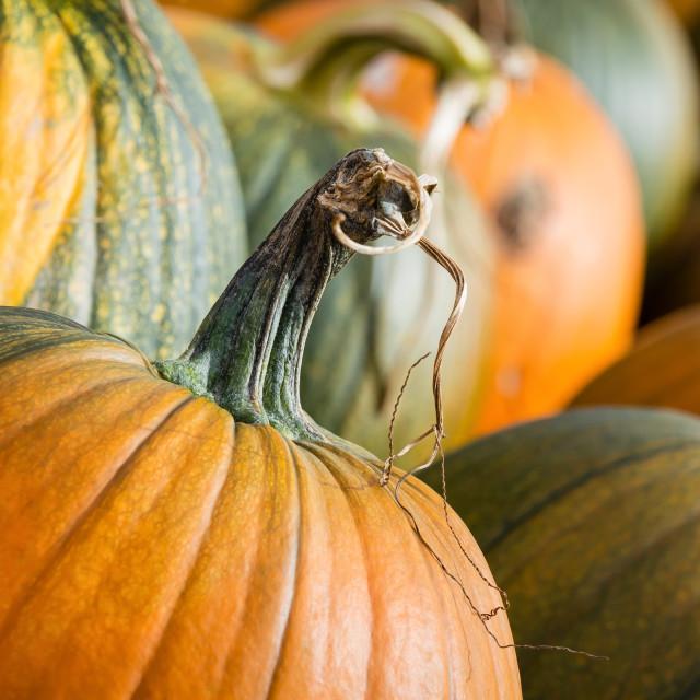 """""""Pumpkins closeup in autumn"""" stock image"""