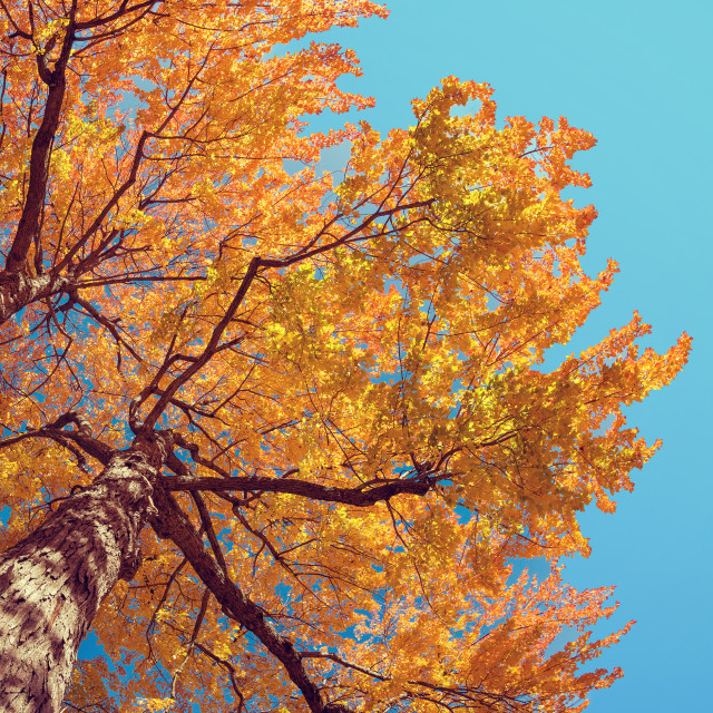 """""""Upward view of autumn tree with yellow leaves against blue sky"""" stock image"""