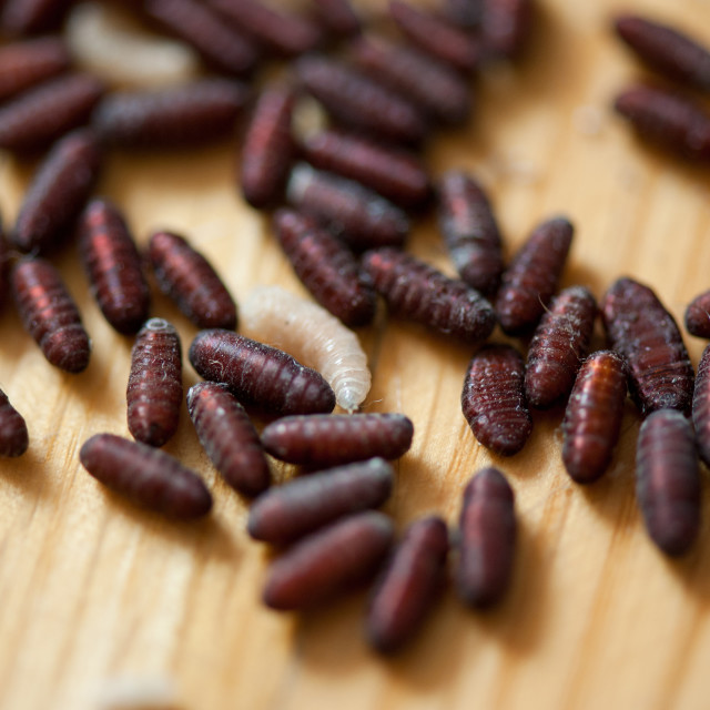 """Larvae and pupae group lying"" stock image"