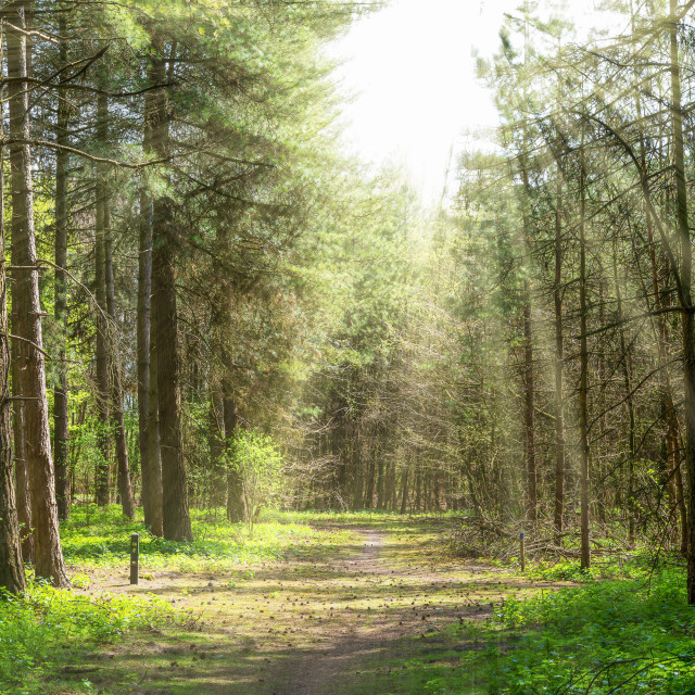 """""""Forrest trees with sun rays"""" stock image"""