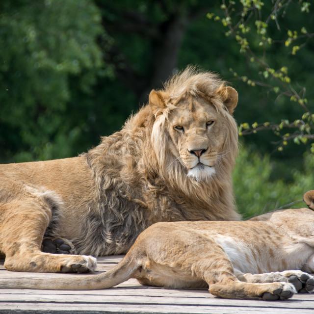"""Big lion laying down"" stock image"