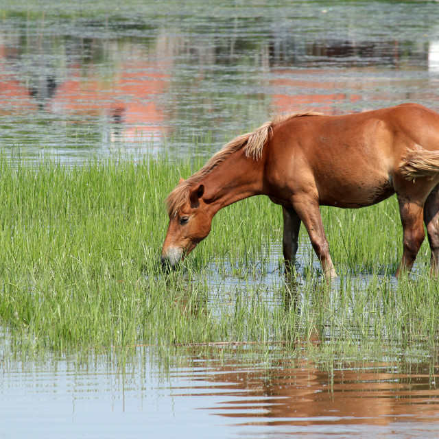 """brown horse drink water nature scene"" stock image"