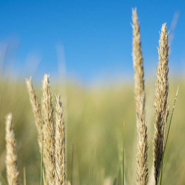 """Long reeds growing on sand dunes in the UK"" stock image"