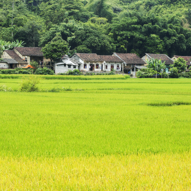 """village in the green rice field"" stock image"