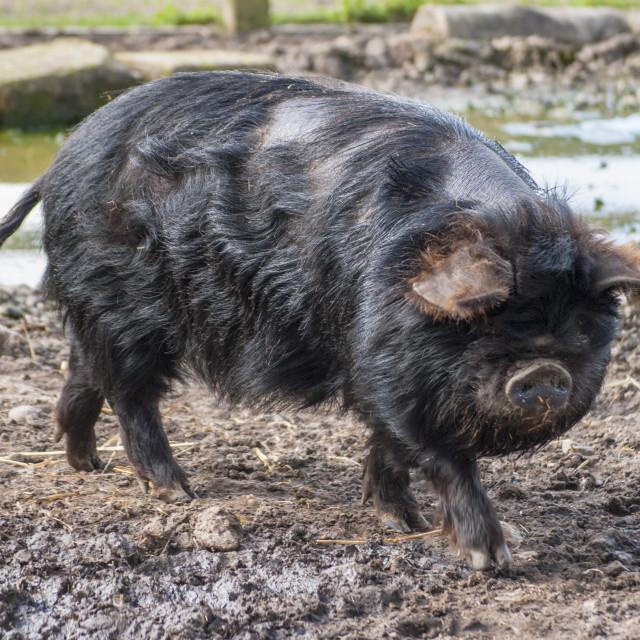 """Black Pig"" stock image"
