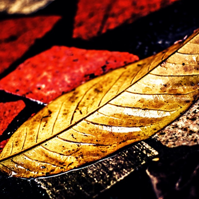 """Autumnal Leaf In The Rain"" stock image"