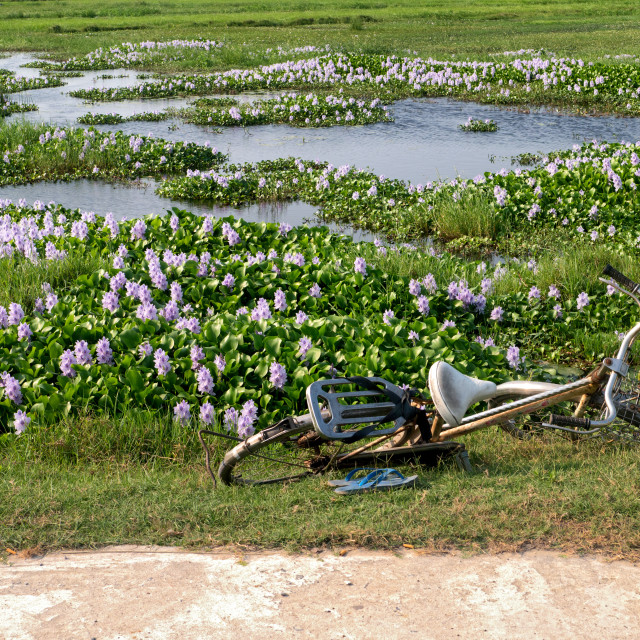 """Bike Beside Flower Covered Lake Wetlands, Hoi An"" stock image"