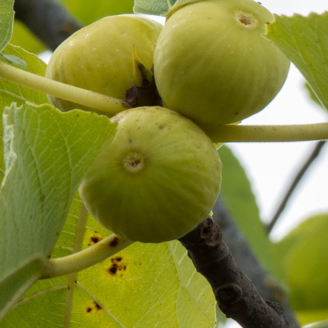 """""""Figs"""" stock image"""