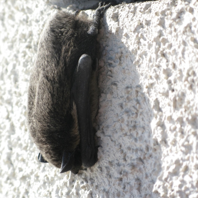 """Hanging bat"" stock image"
