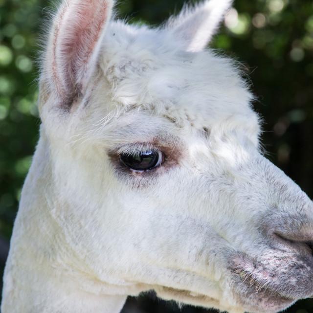 """Alpaca Portrait"" stock image"
