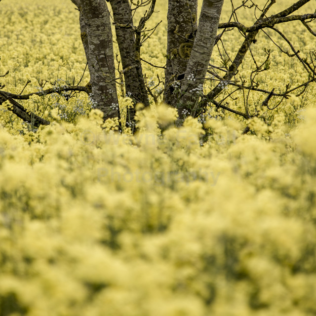"""Yellow Oil seed rape crop field"" stock image"