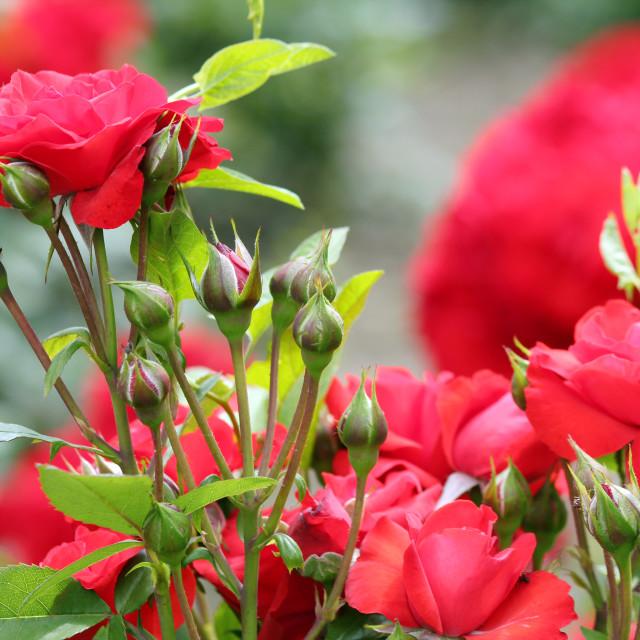 """roses nature spring scene"" stock image"