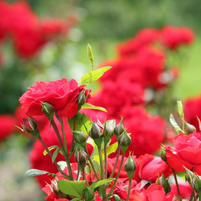 """roses garden spring scene"" stock image"