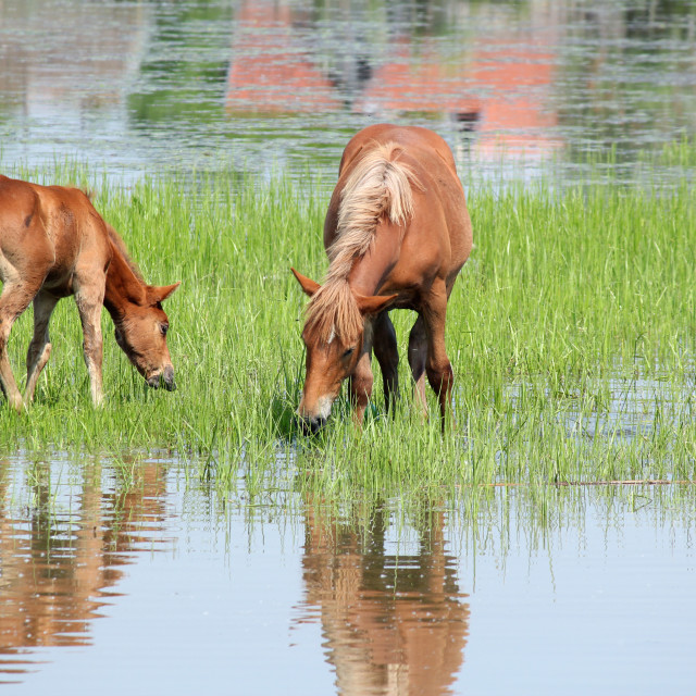 """brown horse and foal nature spring scene"" stock image"