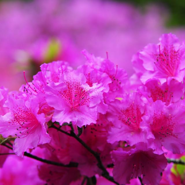 """Azaleas in Keukenhof Botanic Garden. Netherlands"" stock image"