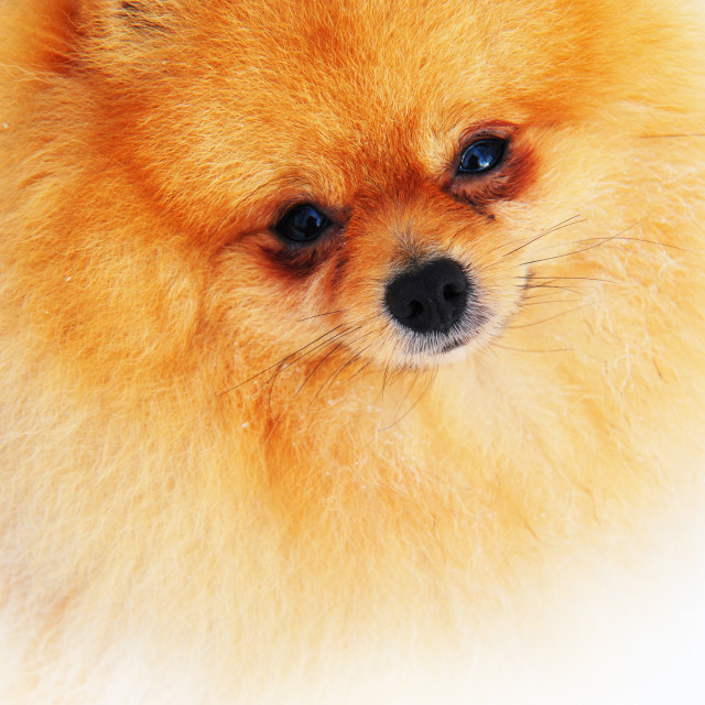 """The Pomeranian Dog"" stock image"