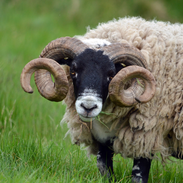 """Sheep with curly horns 0003"" stock image"