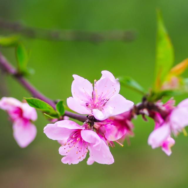 """""""peach blossom"""" stock image"""