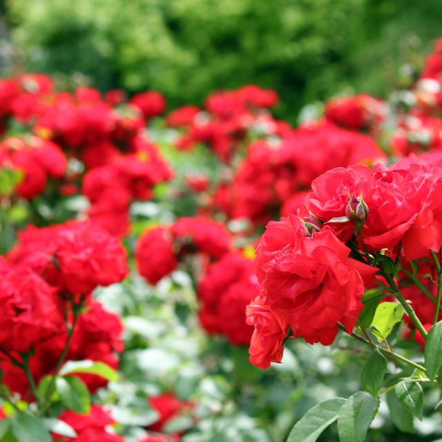 """red roses garden spring scene"" stock image"