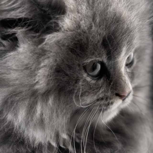 """Portrait of little cat isolated on black"" stock image"