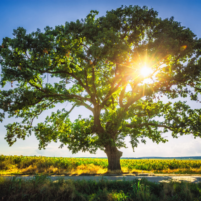 """Big green tree in a field, HDR"" stock image"