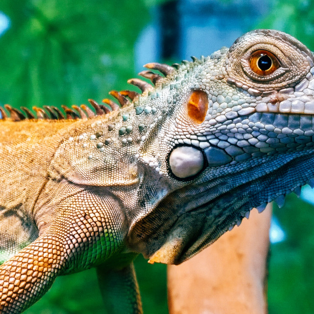 """Red Iguana"" stock image"